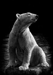 Polar Bear (chmeermann) Tags: bear portrait bw animal zoo blackwhite nikon portrt polarbear sw nikkor schwarzweiss gelsenkirchen tier br eisbr 70300 d80 zoomerlebniswelt