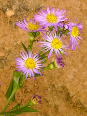 ster (C Alberto) Tags: flower planta purple natureza flor lilac roxa aster lils flowersadminfave ster