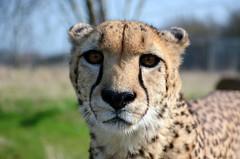 Cheetah (Careyocean) Tags: spots bigcat cheetah