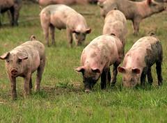 Young Pigs (saxonfenken) Tags: field animal mammal many pigs superhero farmanimal bigmomma gamewinner 6963 15challengeswinner friendlychallenges thechallengefactory storybookwinner pregamewinner 6963animal
