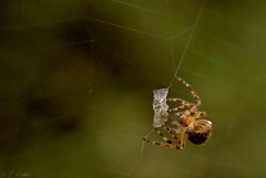 dinner is served (Stephanie J Butler) Tags: uk england nature garden insect spider natural sony arachnid hunt phobia