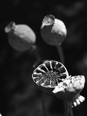 szemcsés kép (.e.e.e.) Tags: blackandwhite bw film analog hungary dry olympus mf analogue zuiko manualfocus filmscan extensiontube ilforddelta100 olympusom4 gardenpoppy olympusomsystem zuiko1850 epsonv350photoscanner ilfosol3developer19