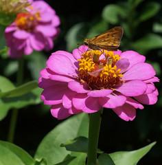 Zinnia with friends (blarkin_nc) Tags: pink flower nature butterfly photography zinnia sonya57