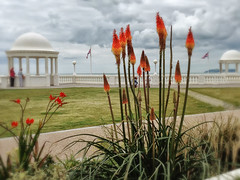 Red hot pokers (larigan.) Tags: flowers clouds colonnade seasideresort iphone redhotpokers bexhillonsea larigan phamilton unrecognisablepeople gettyimageswants gettywants iphone4s capturingenglishsummer