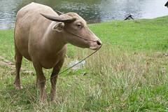 Water Buffalo (steve happ) Tags: laos waterbuffalo tadlo salavan