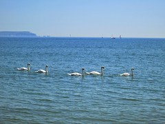 Swans on the Solent (Peter Sillitoe) Tags: sea summer canon swans solent needles isle wight mudeford s100