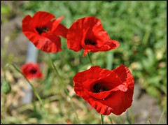 Next to each other.... (Stella Blu) Tags: red flower poppy stellablu nikkor105mmf28gvrmicro nikond5000 pregamewinner