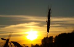 Late Guest (Kpchen) Tags: sunset summer sonnenuntergang sommer feld insects guest landschaft korn kfer besuch gast