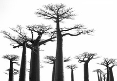 "Sarah Farooqi - Baobabs • <a style=""font-size:0.8em;"" href=""http://www.flickr.com/photos/77881881@N06/7686502416/"" target=""_blank"">View on Flickr</a>"