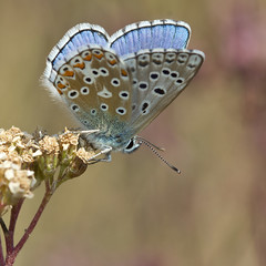 Azur bleu cleste (Polyommatus bellargus) Adonis Blue (Sinkha63) Tags: france macro male nature animal butterfly wildlife ngc papillon npc martel lycaenidae midipyrnes polyommatus polyommatinae lycaeninae azur polyommatusbellargus adonisblue azurbleucleste