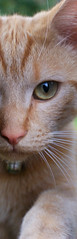 Mysterious Cat (jonas.boudens) Tags: cute green eye up animal cat nose ginger nice close stripes sony ears greeneyes alpha rost poes sonyalpha alpha200 staringinthecamera
