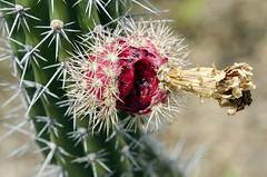 Il fiore di un cactus (Dieserto de la Tatacoa) (recondoontheroad) Tags: cactus de la flora colombia desierto provincia huila villavieja tatacoa