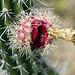 Il fiore di un cactus (Dieserto de la Tatacoa)