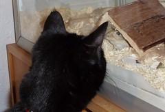 Gerbil and Cat (purkil) Tags: cat gerbil kat gerbils rkenrotter