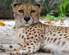 IMGP2189-1 (jenkwang) Tags: animals zoo pentax wildlife cheetah q equivalent f28 200mm 1100mm fa200