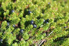 -  - Black crowberry (Empetrum sibiricum) (Tatters:)) Tags: black fruit berry ericaceae edible beries sakhalin empetrumnigrum empetrum  mawep empetrumsibiricum