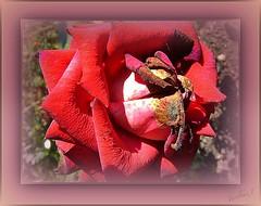 Rose - retired. (tarelkaz1) Tags: flowers red roses summer macro garden flora memories topshots flowersarebeautiful excellentsflowers natureselegantshots naturethroughthelens sonydscs730 theoriginalgoldseal mygearandme