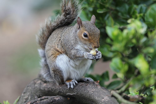 Squirrel eating Toffee popcorn