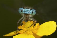 Damselfly (Muzby1801) Tags: above family blue autumn summer h