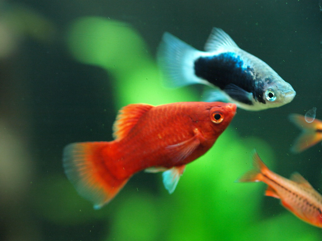 The World\'s newest photos of platy and tropical - Flickr Hive Mind