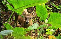 Guatemala - Naturaleza / Nature (Galeon Fotografia) Tags: animal guatemala animale tier venado tierwelt   hayop   galeonfotografa