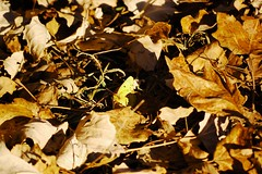 Goodbye Red Leaves (Giopuppy) Tags: november autumn italy home foglie d50 nikon italia novembre nikond50 foliage  autunno    carmagnola