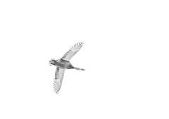 EL VUELO DEL PATO (josechino2424) Tags: bw blancoynegro dc nikon pato f2 135mm vuelo d300 humanesdemadrid josechino2424