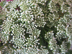 White Breath Flowers (shaire productions) Tags: plants flower detail macro nature floral photo image picture pic vegetation bloom imagery adornment