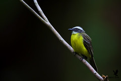 The Friendly Flycatcher (Osprey-Ian) Tags: panama socialflycatcher canopylodge
