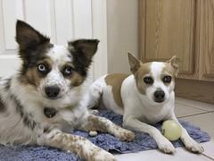 These Two (Pfish44) Tags: dog dogs furbabies chihuahuamix whatmakesyouhappy jackahuahua miniatureaustralianshepherd jackrussellmix americanshepherd 52weeksofpix2016