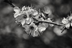 full bloom (rich lewis) Tags: blackandwhite flower macro nature monochrome mono bloom macrophotography richlewis