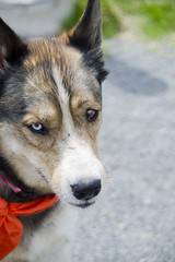 Wilma A190452 (10) (Ottawa Humane Society) Tags: dog dogs animal outside photography spring mix husky outdoor shepherd ottawa german ottawahumanesociety animalshelterphotography