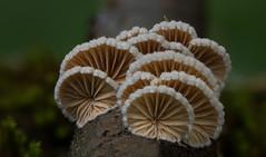 Schizophyllum commune (Crazy Mushroom) Tags: nature mushroom forest schweiz switzerland dof may stack fungi mai fungus bern 60mm commune wald pilz lightroom 2016 spalt dff schizophyllum oberburg canon60d heliconfocus schizophyllumcommune spaltblttling blttling gitzoexplorertripod photoshopcc novoflexfocusrail