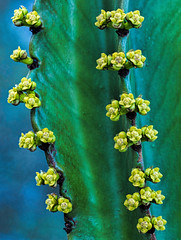 Cactus Buds (FotoGrazio) Tags: cactus macro green texture nature closeup botanical pattern desert flowering buds botany newlife shadesofgreen flowerbuds fotograzio waynegrazio