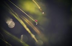 Wet (cristina.g216) Tags: light red verde green water grass rojo agua bokeh drop ladybird gota hierba mariquita