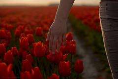 (CarolienCadoni..) Tags: light sunset red sun netherlands photography hand sundown tulips nederland groningen simple uithuizermeeden sal50f14 sonyslta99