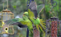 DSC_3466 Parakeets wet and muddy fighting over one Nut feeder Taken through the Caravan windows (John Carson Essex) Tags: thegalaxy supersix rainbowofnature thegalaxystars