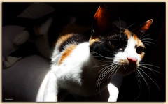 Rey (Mauro Bettarel) Tags: cats famiglia rey gatti animali tricolori