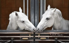 Kiss (Hestefotograf.com) Tags: show friends summer horse white black girl norway bareback jump mare dress lets hannah go run riding pony barefoot welsh arabian elegant stallions cob bestfriend rider equestrian stallion canter equine equus equipage skien spanishridingschool lippizaner