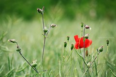 ..:) (Anne takes photos) Tags: flowers light flower nature beautiful beauty canon bokeh atmosphere poppy lovely 50d