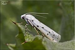 Polilla blanca ( Myelois sp ) (cpv1968) Tags: