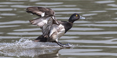 Tufted duck - Aythya fuligula (normanwest4tography) Tags: bird nature flying waterfowl tuftedduck wildbird aquaticbird sigma500f45 canon7d2