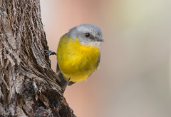 Robin (christinaportphotography) Tags: wild cold bird robin birds yellow standing dof bokeh free australia nsw wintery easternyellowrobin eopsaltriaaustralis mogocamp