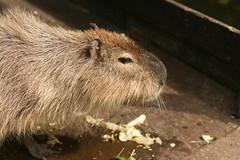 IMG_2215 (Nobinx) Tags: animal zoo capybara greifswald wasserschwein tierpwark