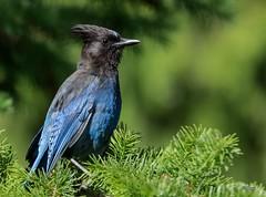 Steller's Jay (T0nyJ0yce) Tags: mountains nature birds westcoast pnw stellersjay cyanocittastelleri canon7dmarkii tamron150600