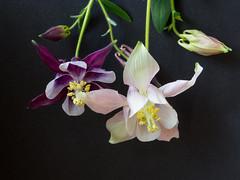 P1060757 (davidbishop168) Tags: flowers macro nature closeup petals stamens blooms aquilegias