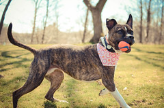 Greta (syzygial) Tags: pitbull boxer greta chuckit rescuedog americanpitbullterrier boxermix dsc8640