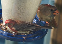 Purple Finch and Cardinal (King Kong 911) Tags: birds nikon cardinal finch mocking nuthatcher d5000 tuffedtidmouse