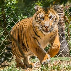 Suka (ToddLahman) Tags: cat canon teddy tiger tigers sumatrantiger joanne suka safaripark escondido canon100400 tigercub tigertrail sandiegozoosafaripark canon7dmkii