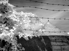 Ivy (& Barbed Wire) (DomiKetu) Tags: city urban blackandwhite bw black monochrome wall ir mono blackwhite ivy panasonic romania barbedwire infrared sibiu urbex blackwhitephotos 850nm tz10